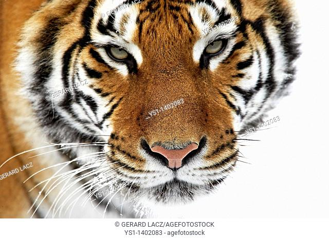 Siberian Tiger, panthera tigris altaica, Adult standing on Snow