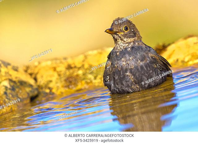 Blackbird, Turdus merula, Mirlo Común, Forest Pond, Castilla y León, Spain, Europe