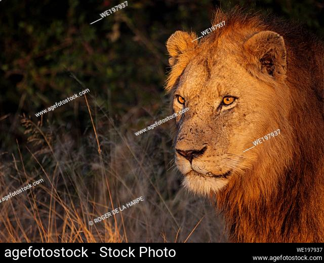 Beautiful early morning light shining on a lion (Panthera leo). South Africa