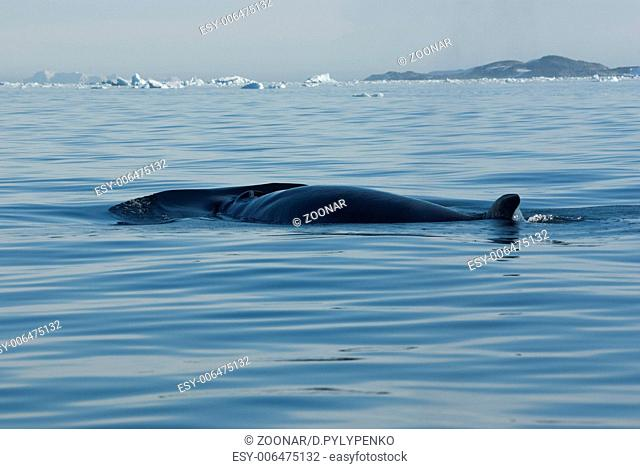 The minke whale in the Southern Ocean-2