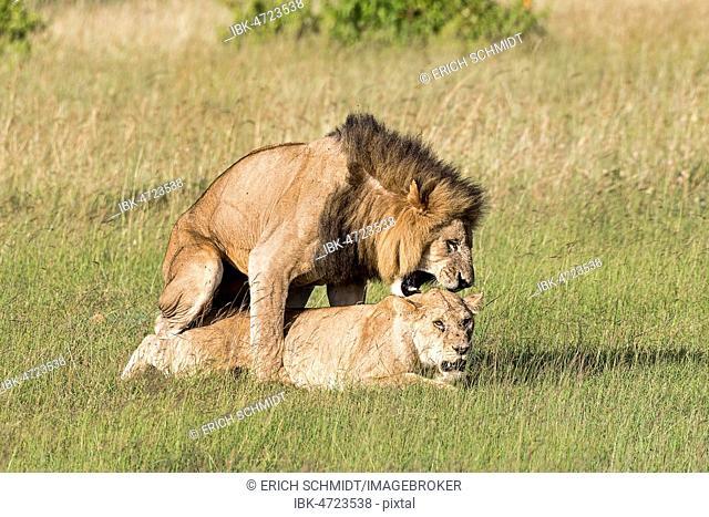 Lions (Panthera leo), mating pair, Masai Mara, Narok County, Kenya