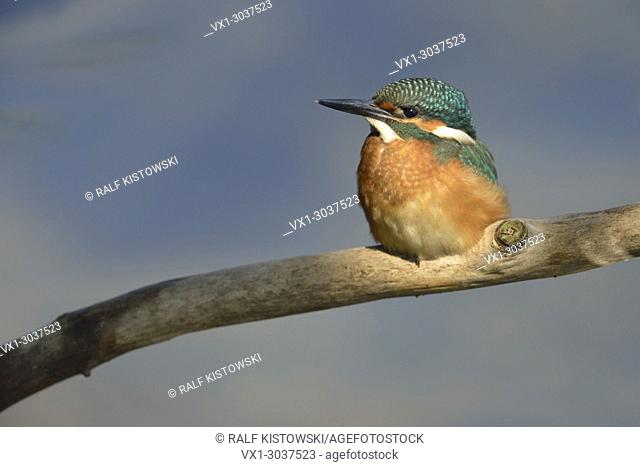 Cute Common Kingfisher / European Kingfisher ( Alcedo atthis ) sitting in a spotlight in front of clean nice blue background, wildlife, Europe