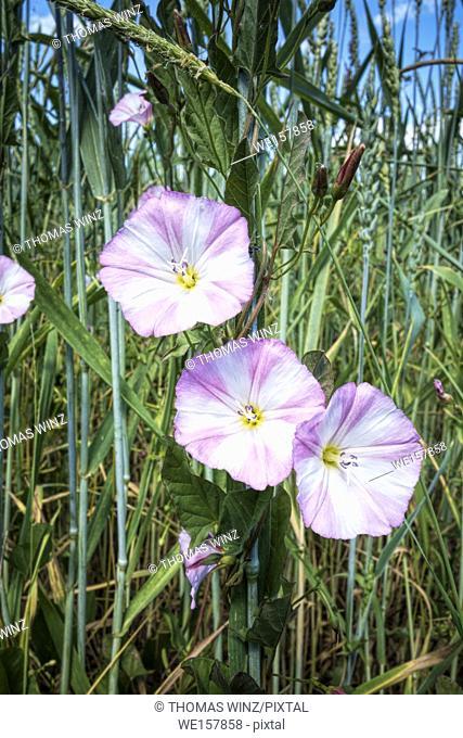 Flowers in a grain field ( Convolvulus Arvensis ) Bindweed in the Morning glory family. Tübingen, Baden Württemberg, Germany