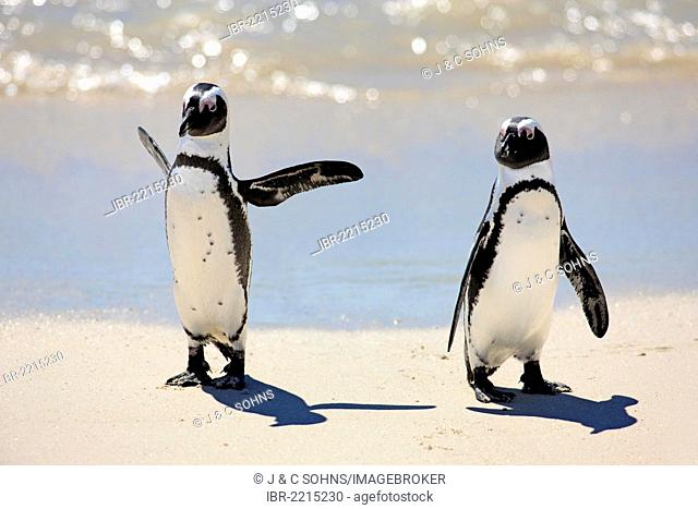 Jackass Penguins, African or Black-footed Penguins (Spheniscus demersus), pair on the beach, Boulder, Simon's Town, Western Cape, South Africa, Africa