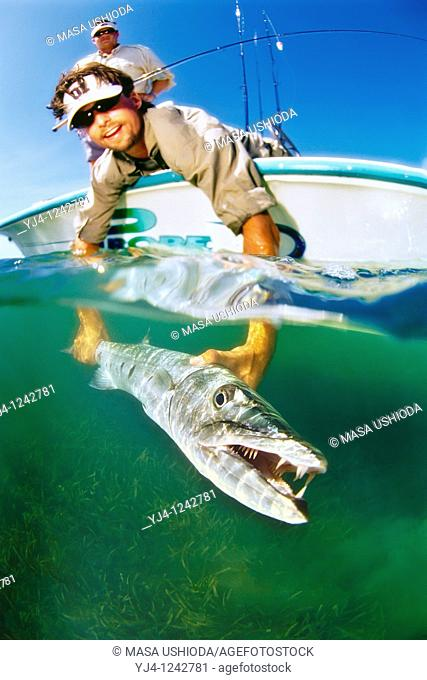 sport fishermen releasing a large great barracuda, Sphyraena barracuda, caught by fishing in flats, Stiltsville, Biscayne National Park, Miami, Florida, USA