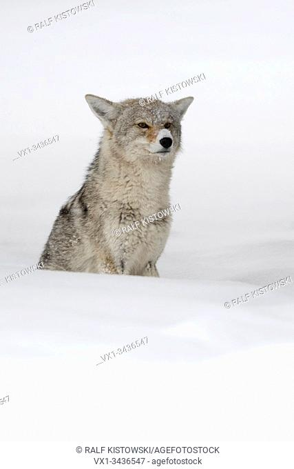 Coyote ( Canis latrans ), in winter, sitting in deep snow, waiting, watching carefully, looks funny with the snow on its nose, Yellowstone NP, USA.