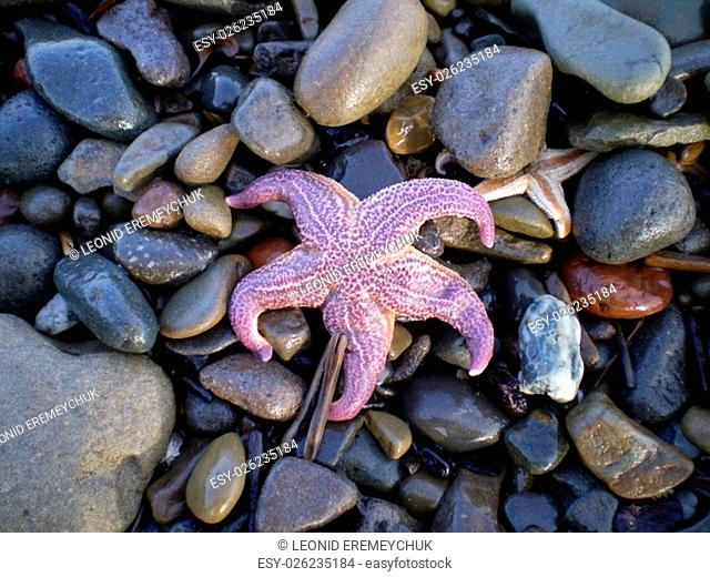 Starfish ashore. Sea erinaceouses mollusks of the Sea of Okhotsk
