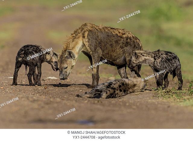 hyena pups with mother. Masai Mara National Reserve, Kenya