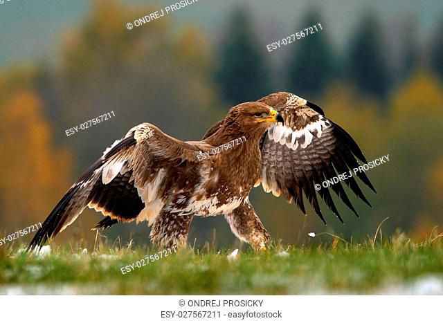 Birds of prey on the meadow with autumn forest in the background