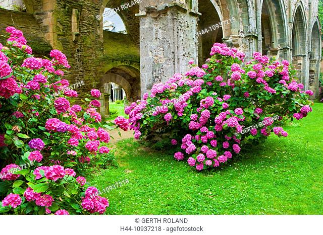 Abbaye de Beauport, Paimpol, France, Europe, Brittany, department Côtes d'Armor, cloister ruins, cloister, ruins, flowers, hydrangeas