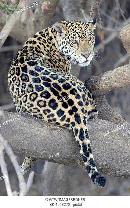 Young Jaguar (Panthera onca) in a tree, Cuiaba river, Pantanal, Mato Grosso, Brazil