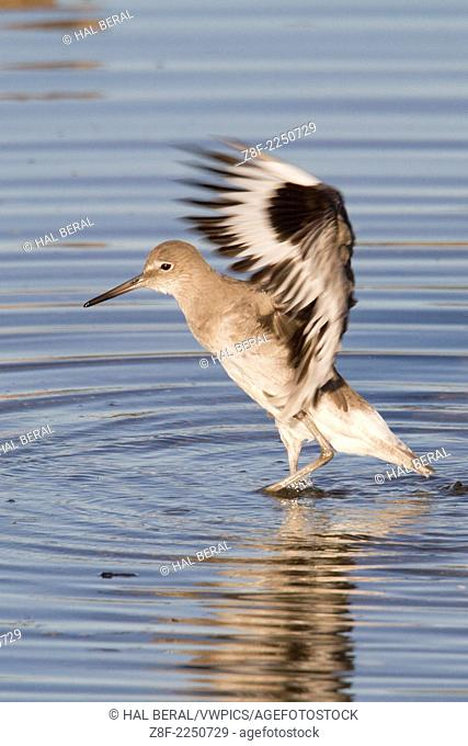 Willet with wings up lleaves the water after it's bath.(Catoptrophorus semipalmatus).Back Bay Reserve, California