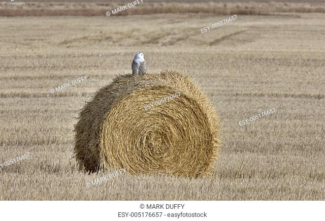 Snowy Owl Perched hay bale