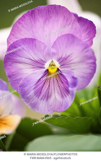 Pansy, Viola x wittrockiana. Close view of single flower with delicately veined purple petals and yellow eye at centre