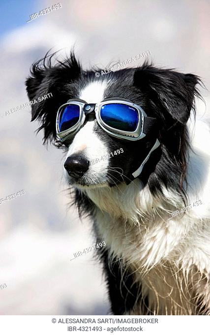 Border Collie, black, portrait with snow goggles