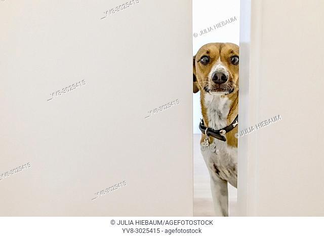 Mixed terrier dog peeking through a door