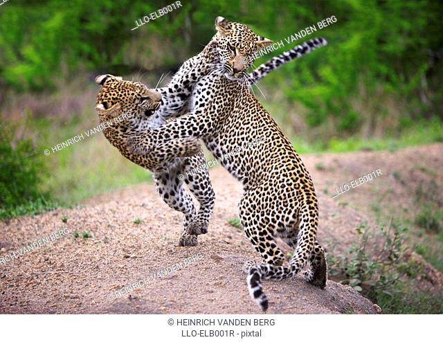 Two Leopards Panthera pardus Fighting  Sabi Sands Conservancy, Mpumalanga Province, South Africa