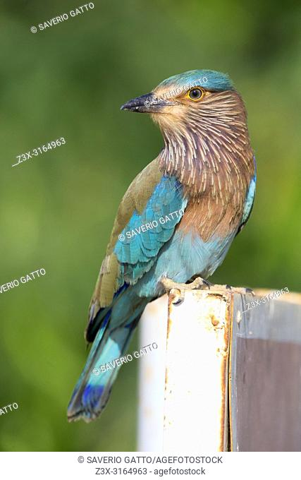 Indian Roller (Coracias benghalensis), Standing on a post, Qurayyat, Muscat Governorate, Oman