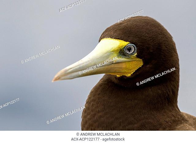 Brown Booby (Sula leucogaster), Cayman Brac, Cayman Islands, British West Indies