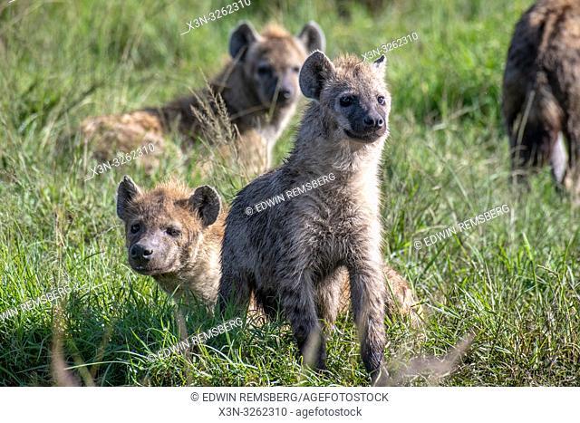 Spotted hyenas (Crocuta crocuta), also known as the laughing hyena Maasai Mara National Reserve,Kenya