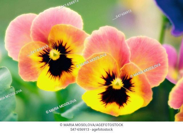 Two Pansy Flowers. Viola x wittrockiana. May 2007, Maryland, USA