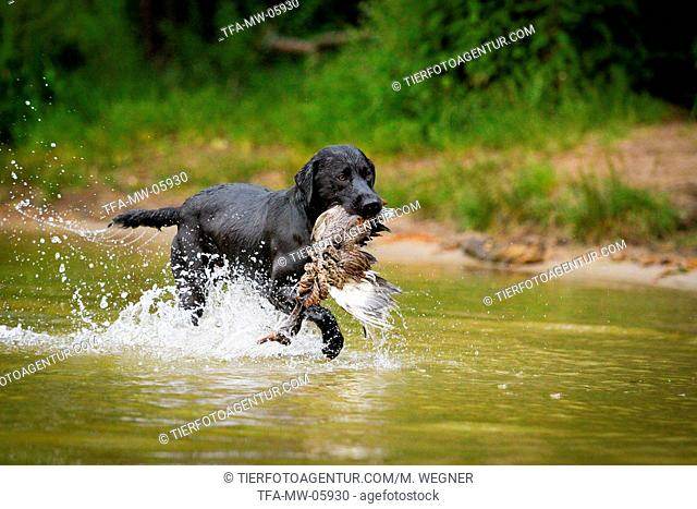 Labrador Retriever at duck hunting