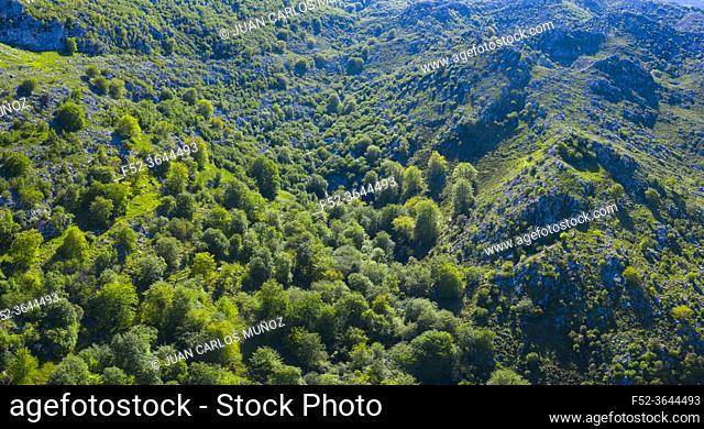 Beech forest in the surroundings of the Sierra de Hornijo near Ramales de la Victoria in the Autonomous Community of Cantabria. Spain, Europe