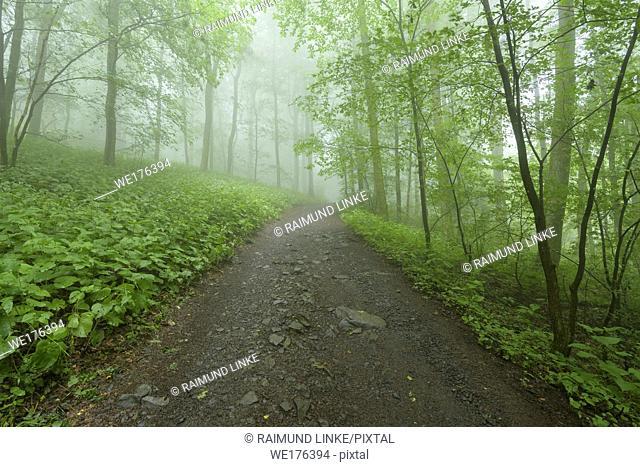 Path in mountain forest on a misty morning on mountain peak, Hofbieber, Milseburg mountain, Rhoen mountain range, Hesse, Germany