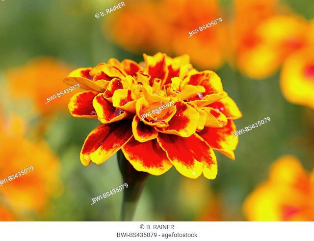 French marigold (Tagetes patula), inflorescence