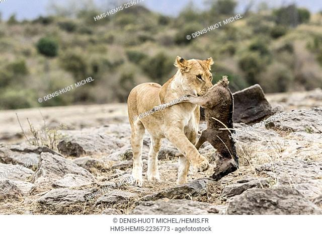 Kenya, Masai-Mara Game Reserve, lion (Panthera leo), female carrying a newborn wildebeest