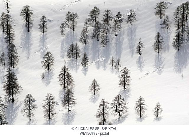 Larchs over white in spring, Valgerola, Valtellina, Lombardy, Italy