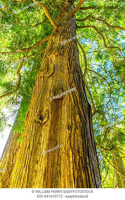Coast Redwood Very Tall Tree Sequoia California redwood, tallest living trees and among oldest living things on Earth