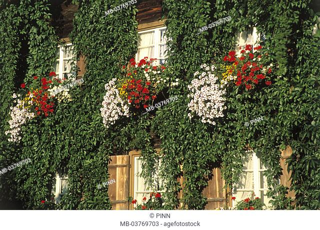 framehouse, detail, facade, grows over,  Windows, flowers,  House, residence, farmhouse, wood farmhouse, grown in, plant, climbing plant, proliferates