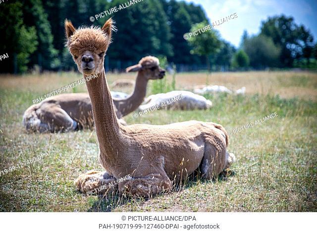 19 June 2019, Brandenburg, Walsleben: Alpacas lie in an extensive enclosure of a breeder. In the north of Brandenburg, a family business breeds the animals