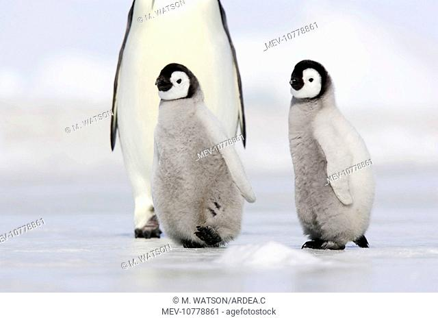 Emperor Penguin - adults with chicks (Aptenodytes forsteri)