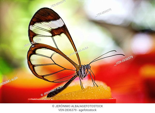 Greta oto butterfly. Glass butterfly or mirrors butterfly, transparent wings. Benalmadena Butterfly Park, Costa del Sol, Malaga, Spain Europe