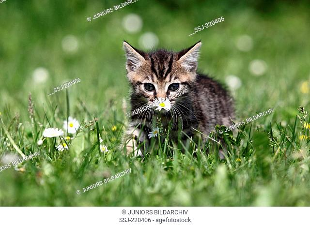 European Shorthair. Tabby kitten (5 weeks old) in grass, sniffing at a Daisy. Germany