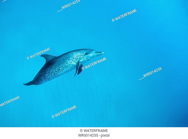 Spotted Dolphin, Stenella frontalis, Atlantic, Caribbean Sea, Bahamas