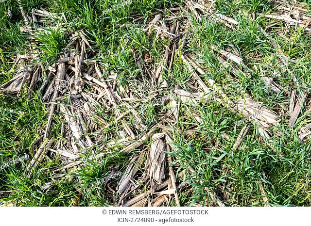 Cover crops growing over old corn stalks
