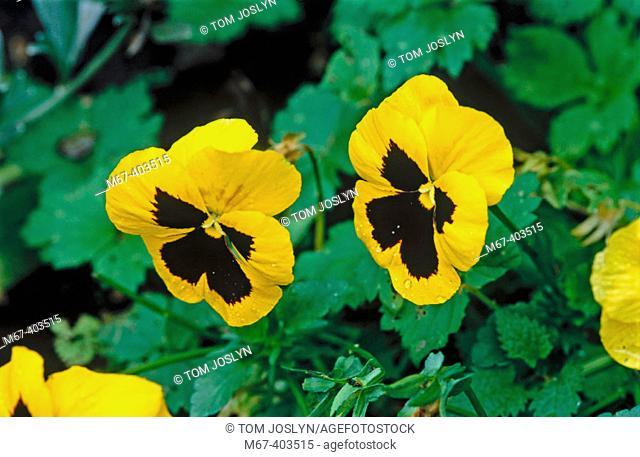 Pansy flowers (Viola X Wittrockiana) England UK