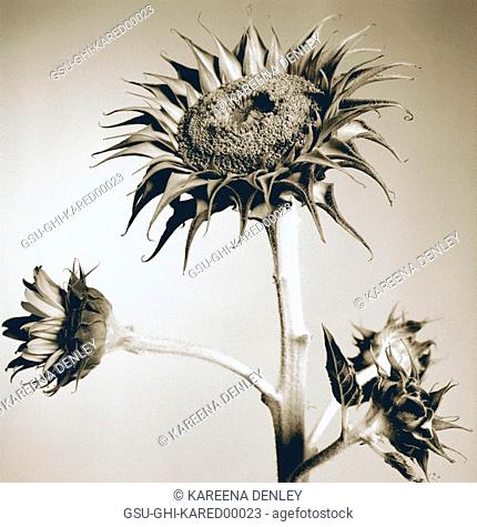 sunflower, dry, prickly