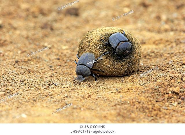 Dung Beetle, (Scarabaeus sacer), adult couple rolls elephant dung for egg deposition, Isimangaliso Wetland Park, Kwazulu Natal, South Africa, Africa