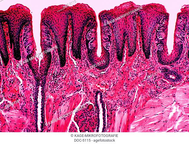 Human being: Tongue - Taste corpuscle. Sectional view. HF 100x Photo-Technical Short Cuts: LUMEN = optical microscope, scanning electron microscope = scanning...