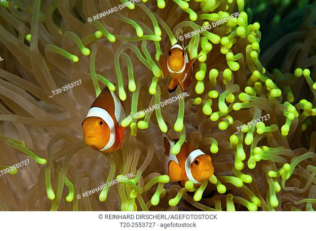 Clown Anemonefishes, Amphiprion ocellaris, Bali, Indonesia