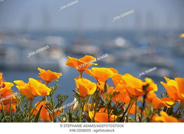 California Poppy's and marina in Monterrey Bay, California