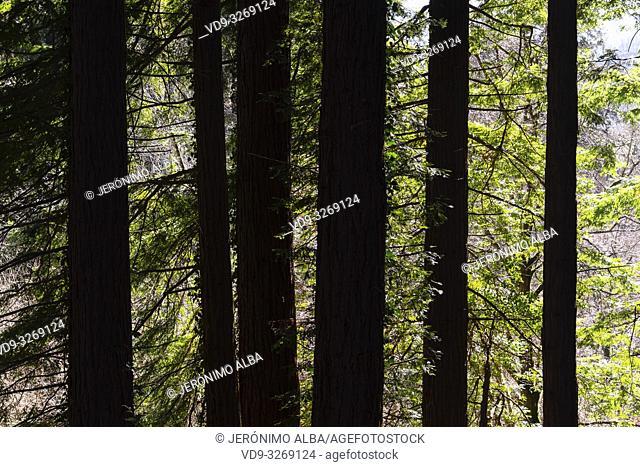 Protected Natural Space. Sequoya (Sequoia sempervirens). Natural Monument of Sequoia trees at Monte Cabezon. Cabezon de la Sal, Cantabria