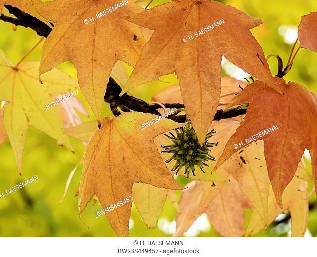 Satin Walnut, Sweet Gum, Red Gum (Liquidambar styraciflua), branch with infructescence and autumn leaves