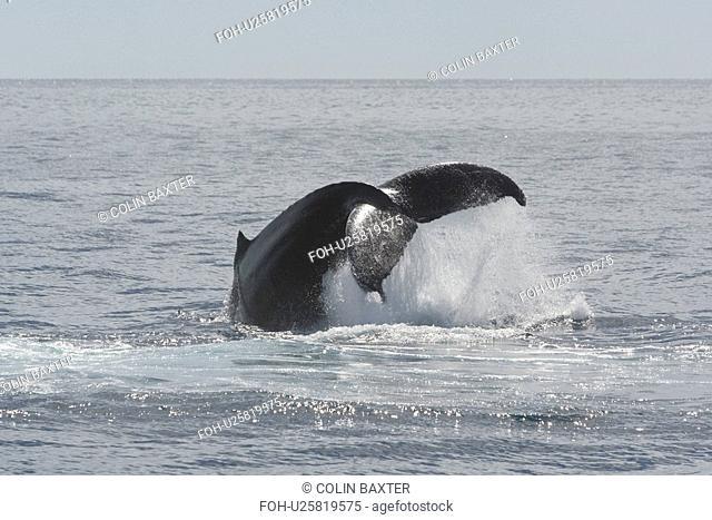 Humpback Whale Megaptera novaeangliae lob-tailing, Gulf of California, Mexico