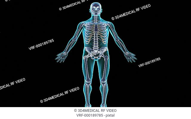 An animation of the axial skeleton. The camera zooms in and rotates to show the axial skeleton in isolation