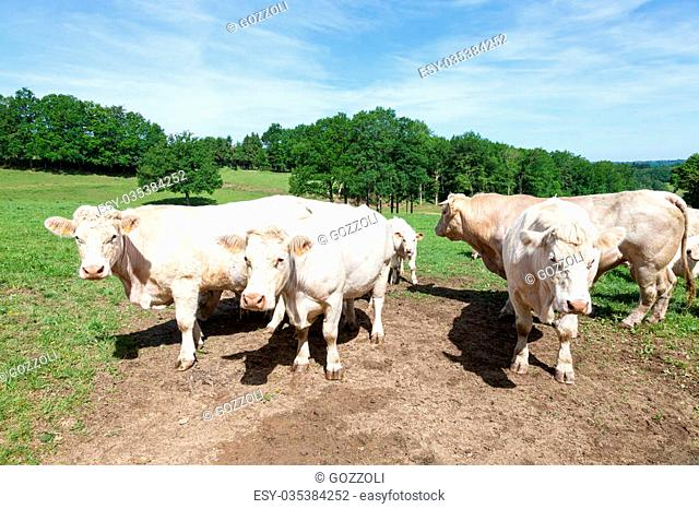 Large Limousin beef bull with cows and a calf in a lush spring pasture standing grouped facing the camera in sunshine